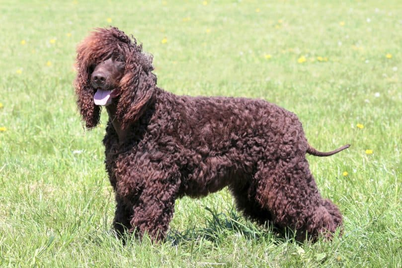Irish Water Spaniel in the garden