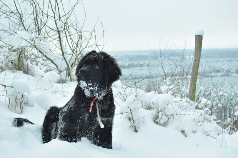 Black Newfoundland sitting in the snow