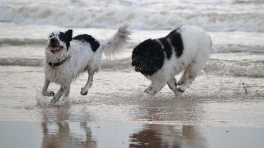 Newfoundlands playing at the beach