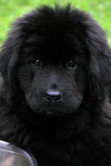 black Newfoundland puppy