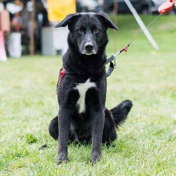 Portuguese Water Dog and Labrador Retriever Mix on a leash standing in the grass