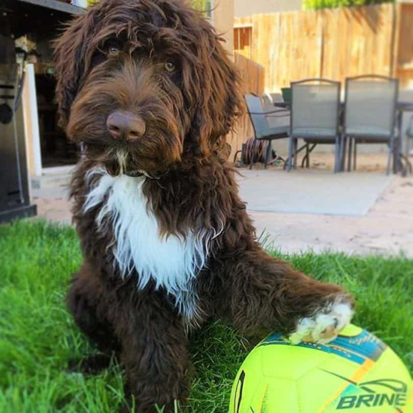 Portidoodle with a ball standing in the grass