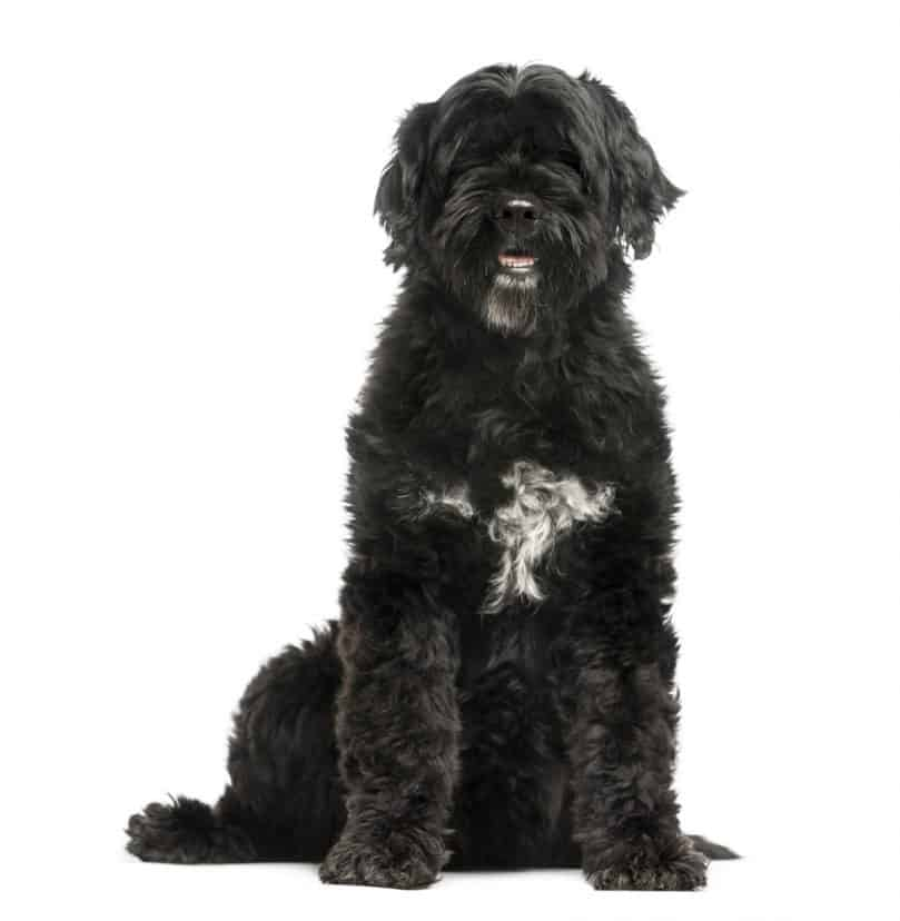 Black Portuguese Water Dog sitting up