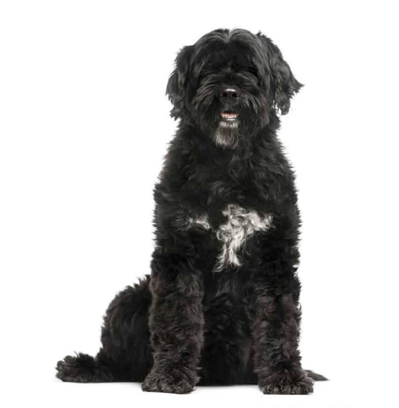 Black Portuguese Water Dog sitting up