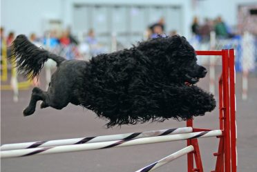 Portuguese Water Dog in lion clip jumping over hurdles
