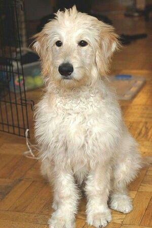 Portuguese Water Dog and Golden Retriever Mix standing indoors