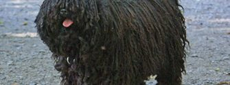 The Puli, Hungary's Indispensable Herd Dog