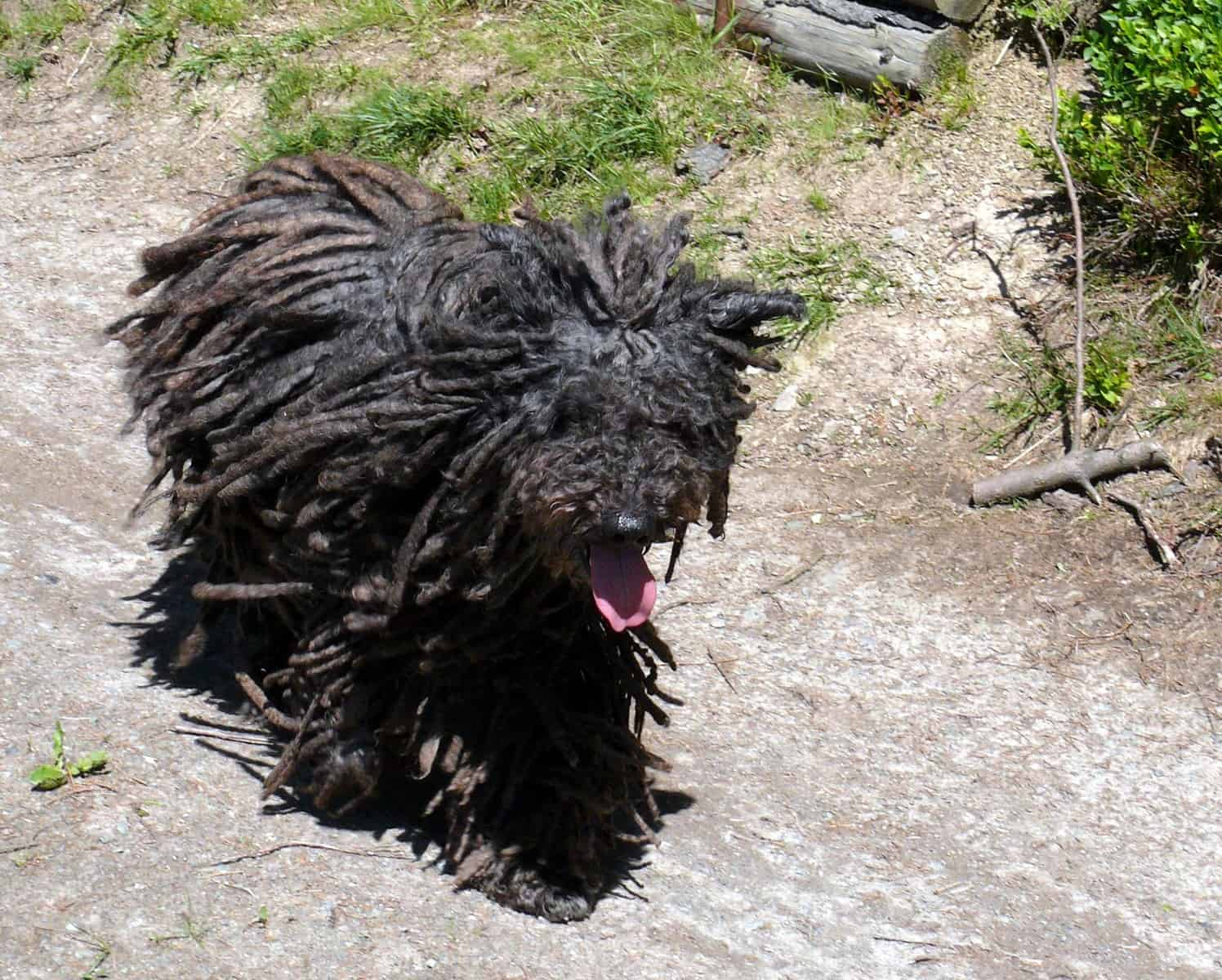 Black Puli running outside