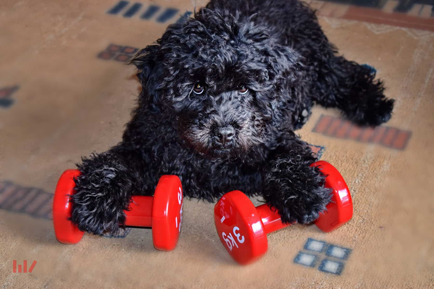 Puli puppy with paws on weights