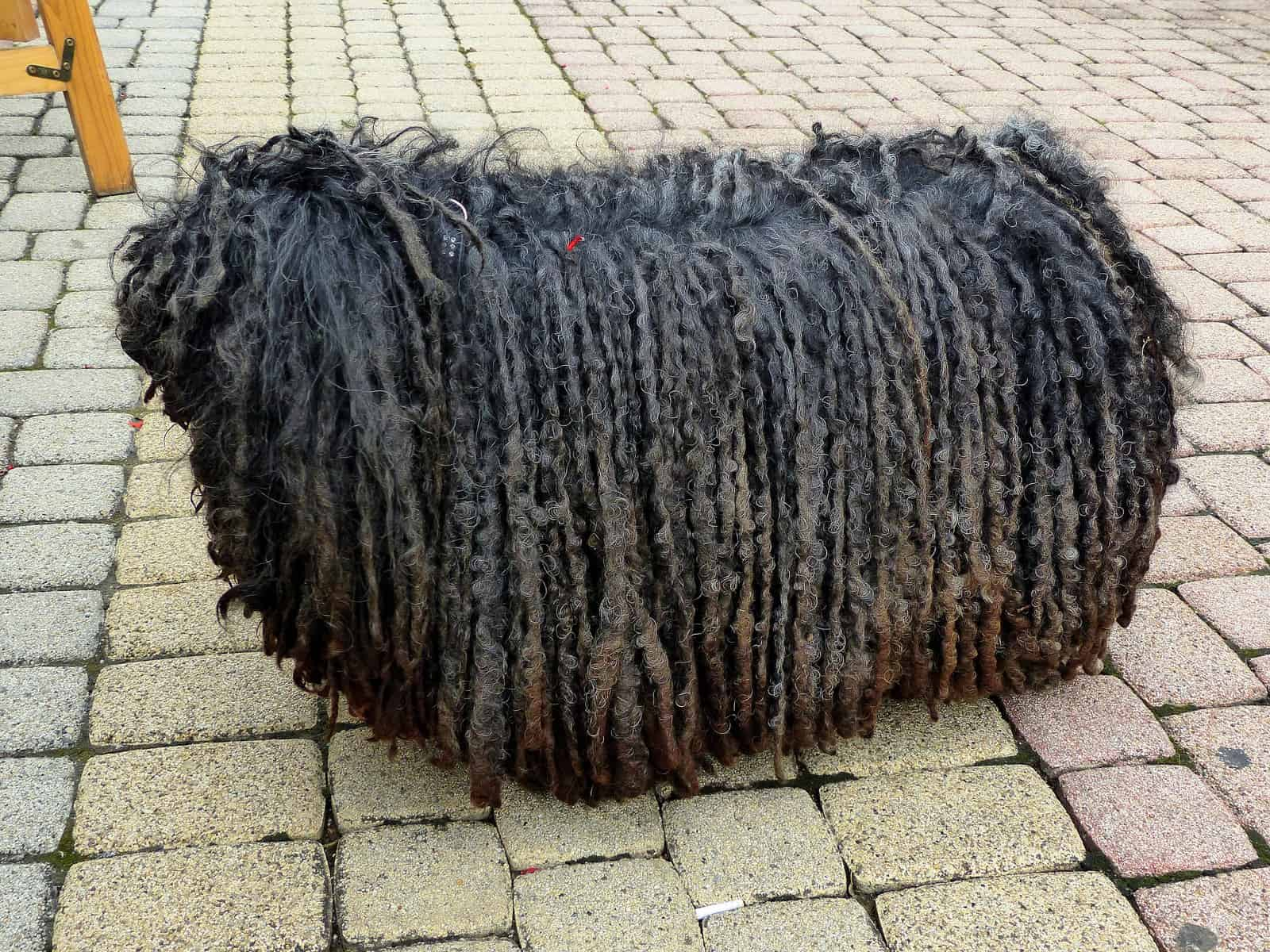 Puli with full-length cords standing on the street