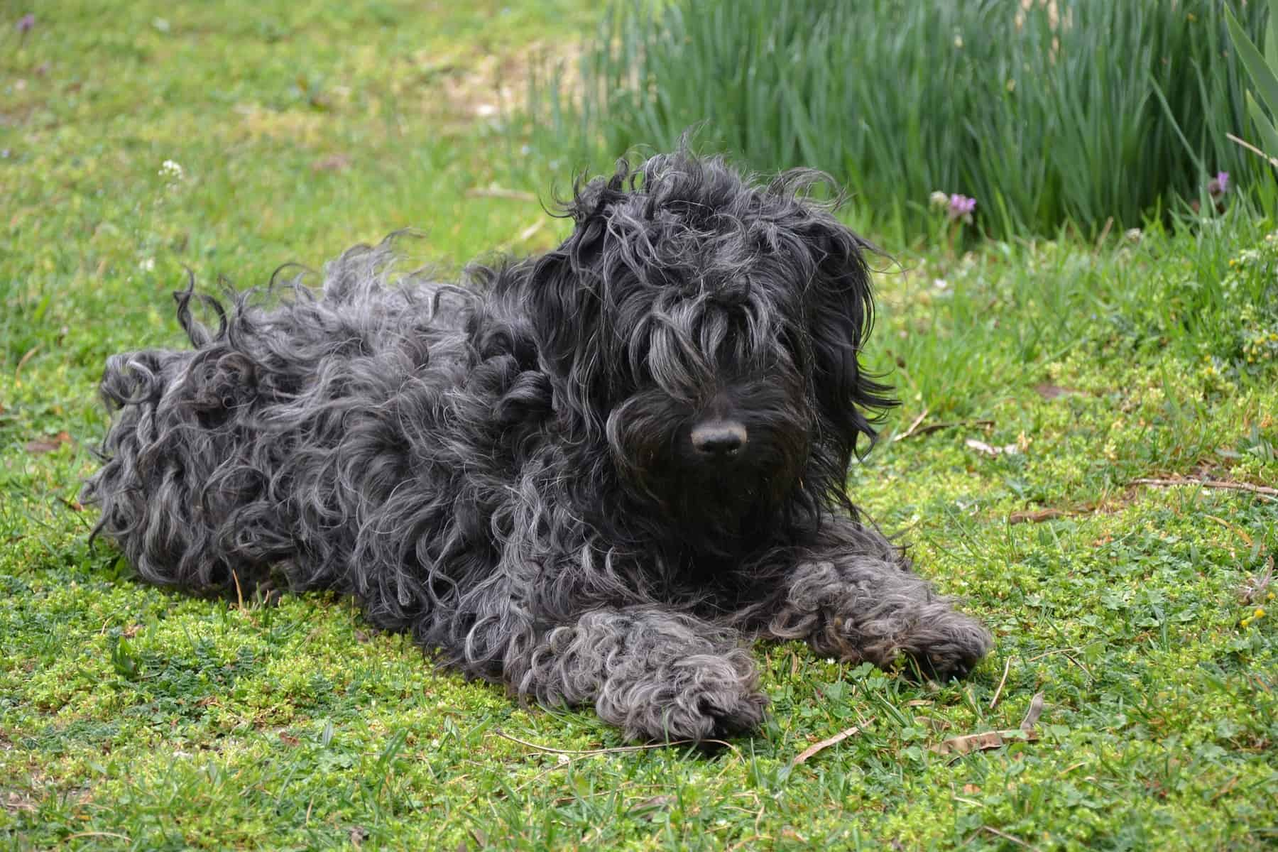 Puli with brushed coat laying on the grass