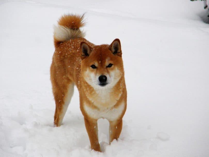Shiba Inu playing in the snow