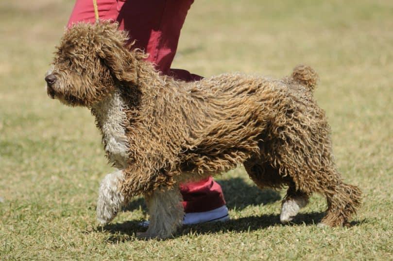 Spanish Water Dog running