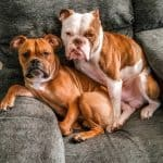 Two Bull-Boxers sitting side by side