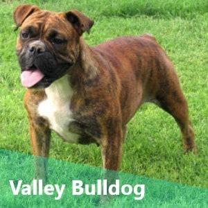 Valley Bulldog also known as Boxer Bulldog Mix