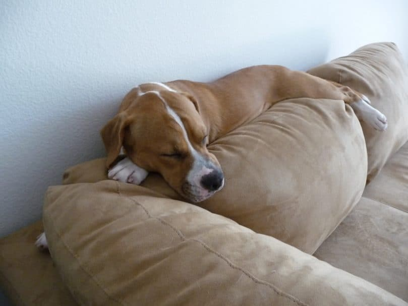 An adult Bulldog Beagle Mix sleeping on the couch
