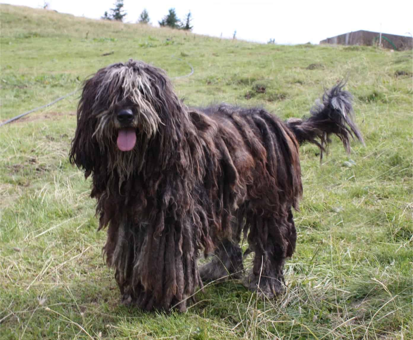 Bergamasco dog standing in a field