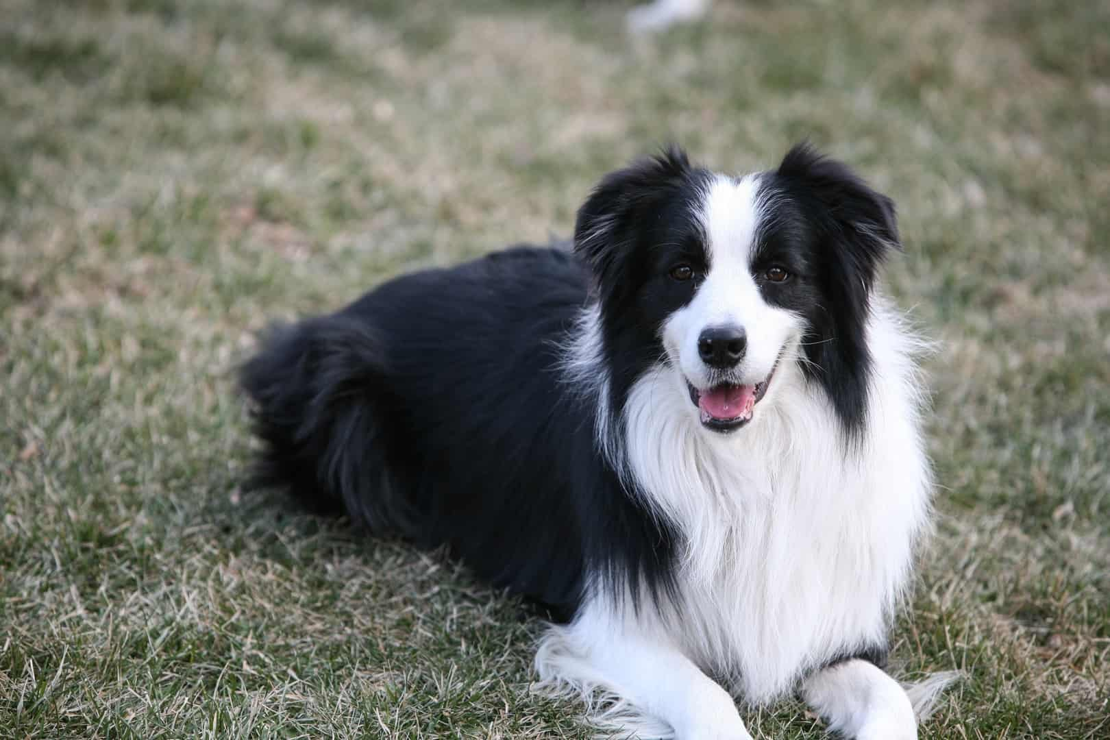 Border Collie laying on the grass