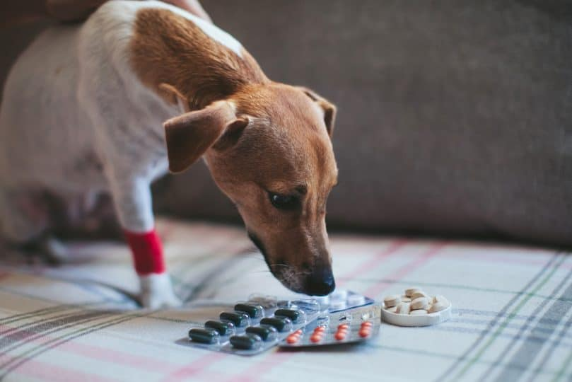 Dog with Leishmaniasis looking at his medication