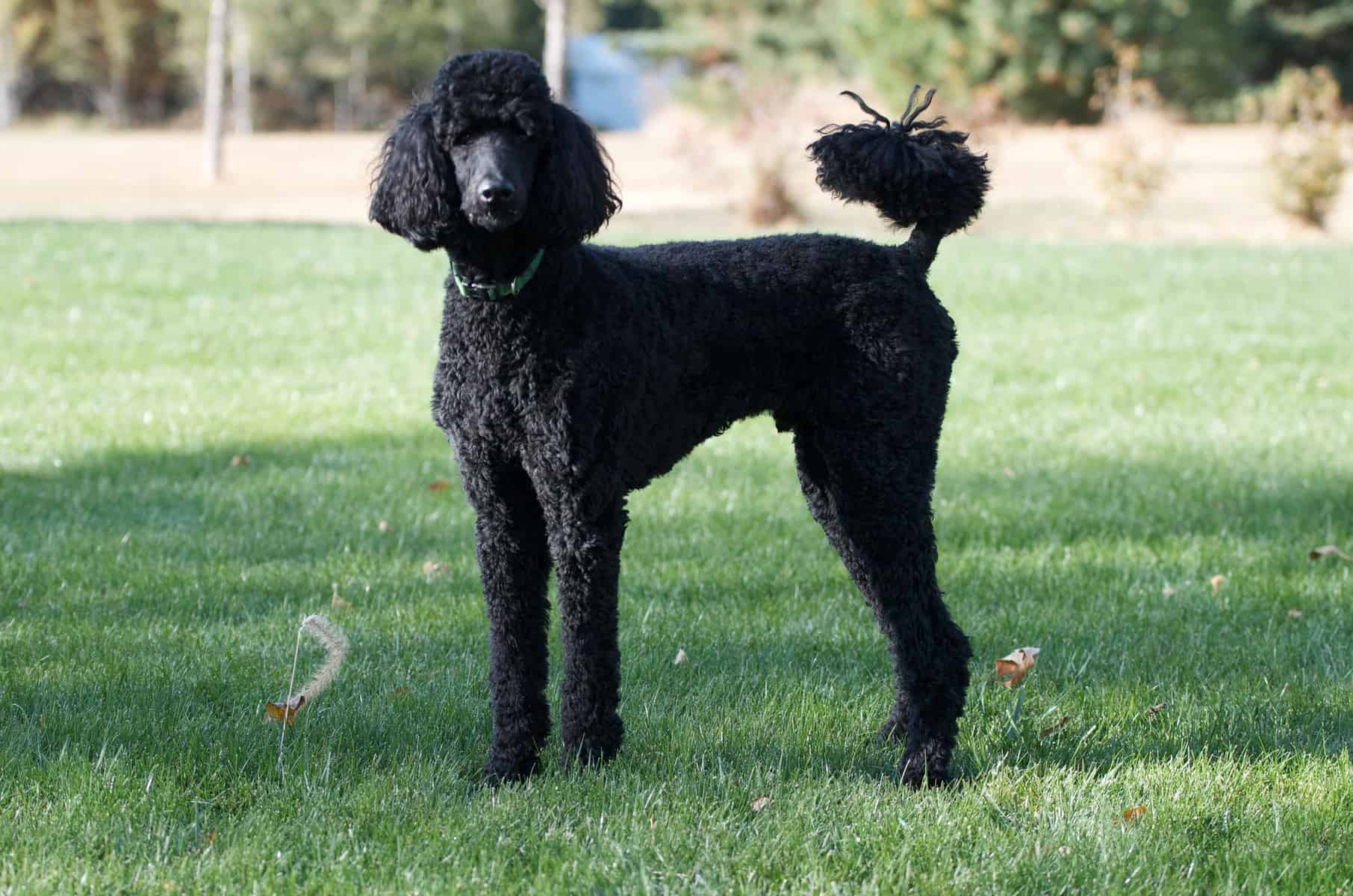 A black Standard Poodle standing on the grass