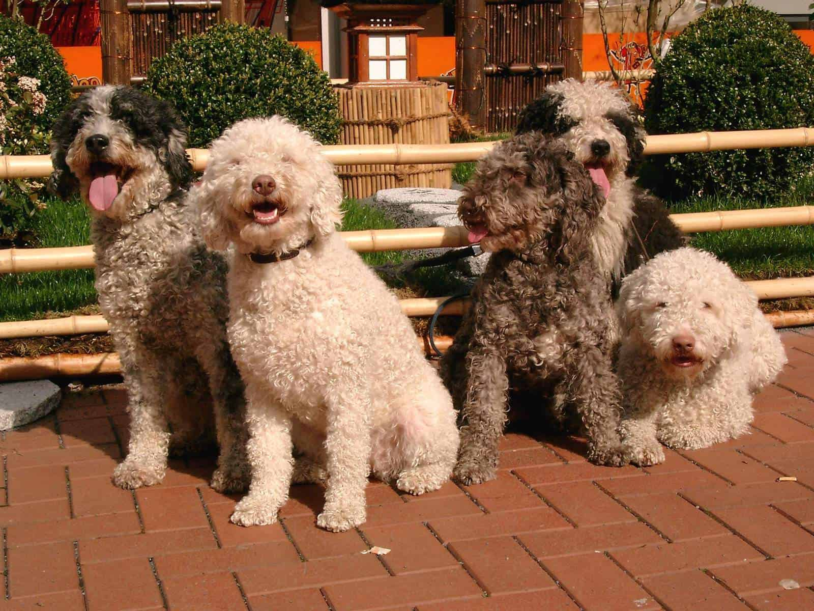 A group of Spanish Water Dogs sitting on the floor