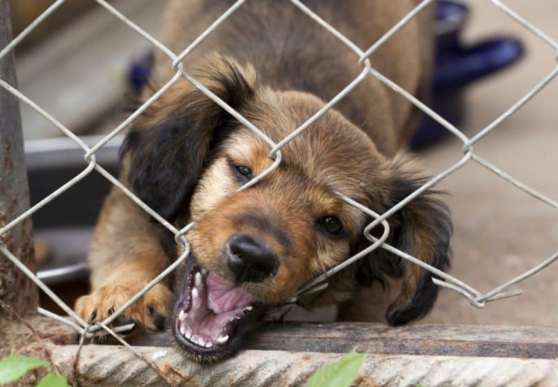 Dachshund puppy biting at a wire mesh fence