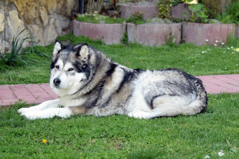 Large Alaskan Malamute lays in the grass