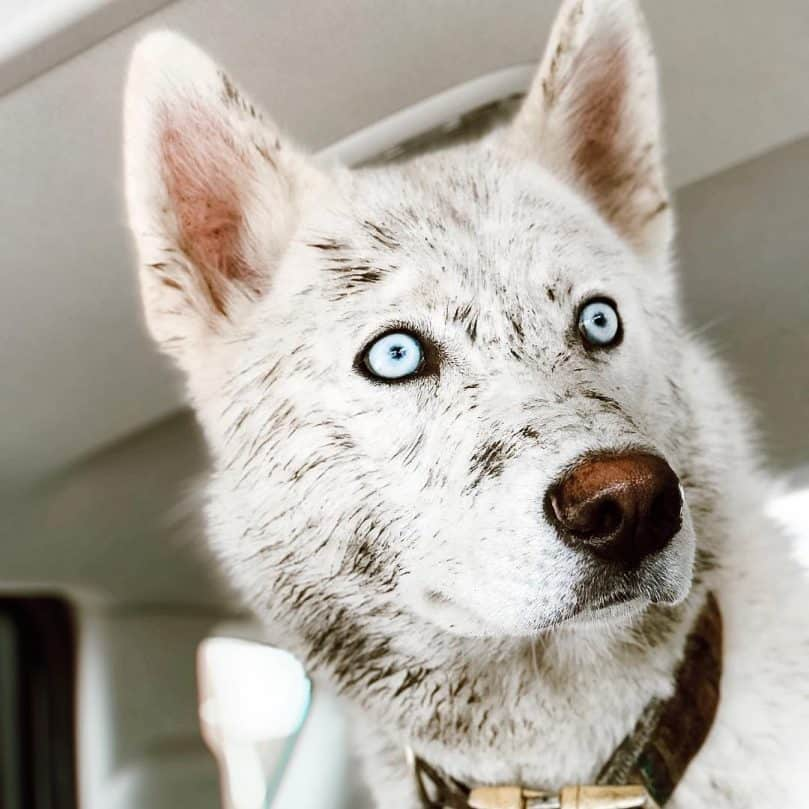 Alusky with striking eyes