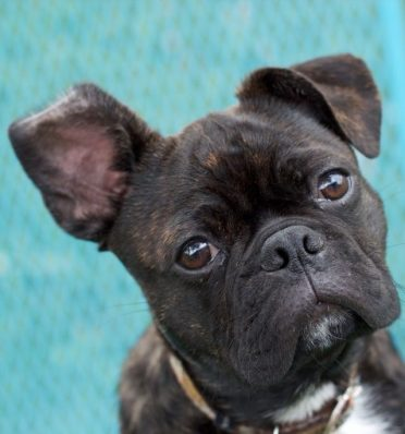 Boston Terrier Pug Mix also known as Bugg