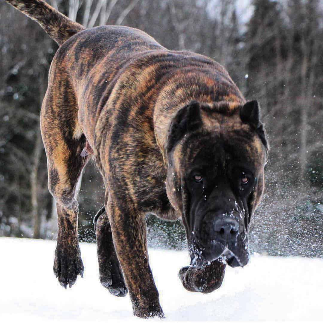 8 Facts You Need To Know Before Buying A Presa Canario