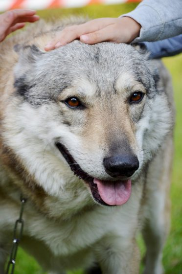 Czechoslovakian Wolfdog close up