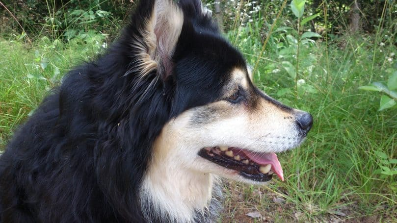 Finnish Lapphund side profile