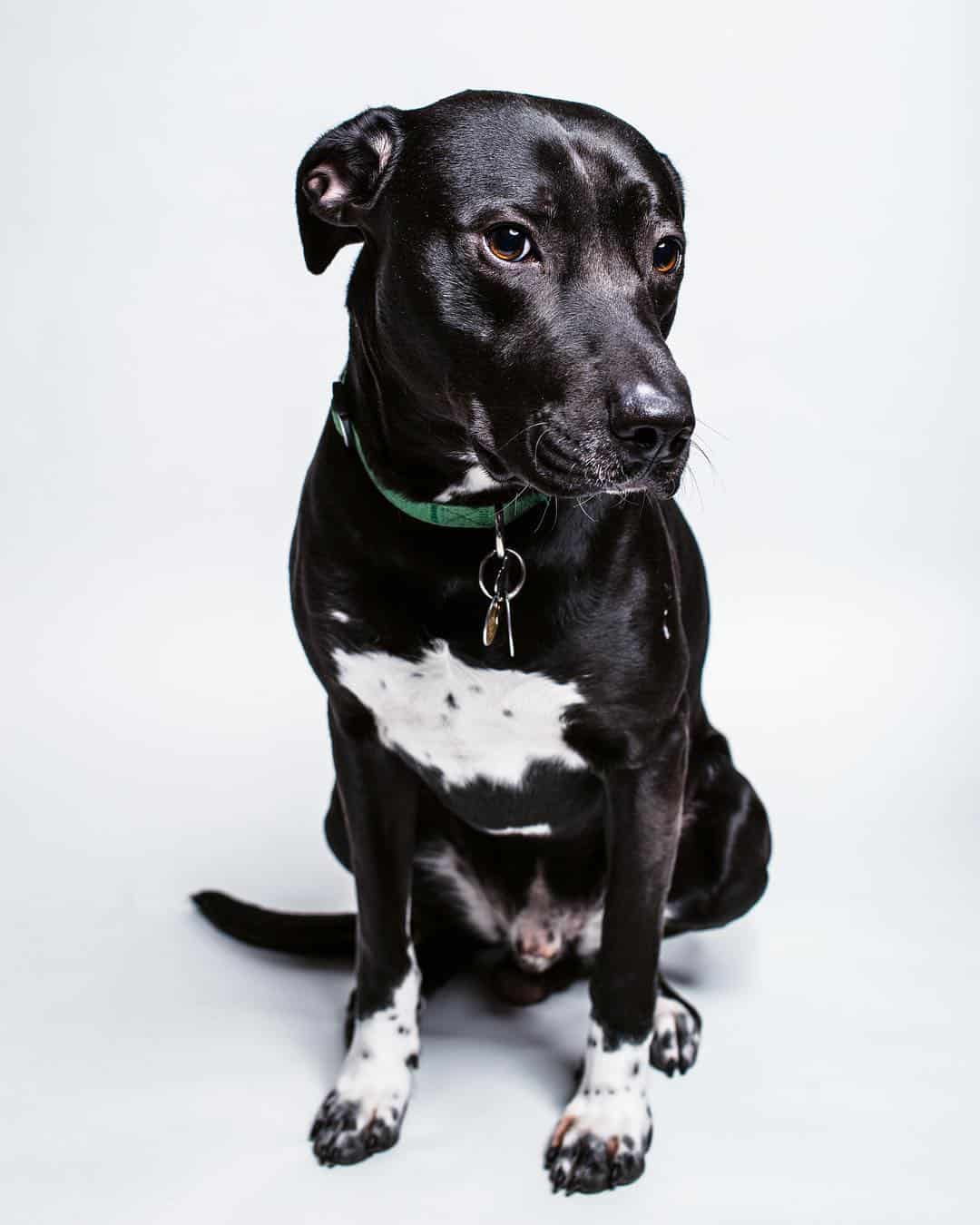 Meet Your Gentle Giant The Labradane Aka The Great Dane Lab Mix Animalso