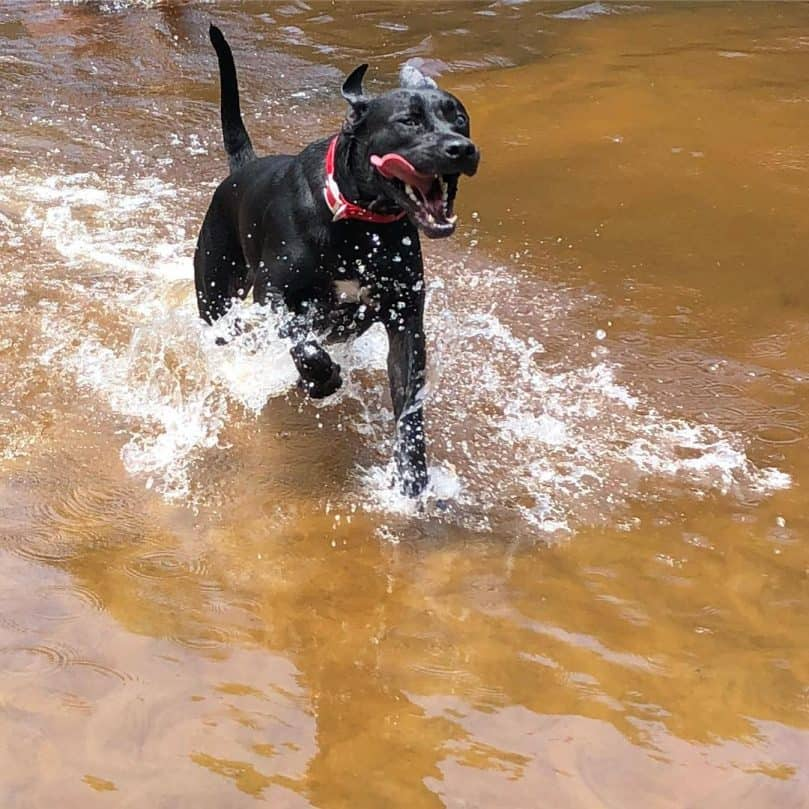 Lab Great Dane Mix playing in water