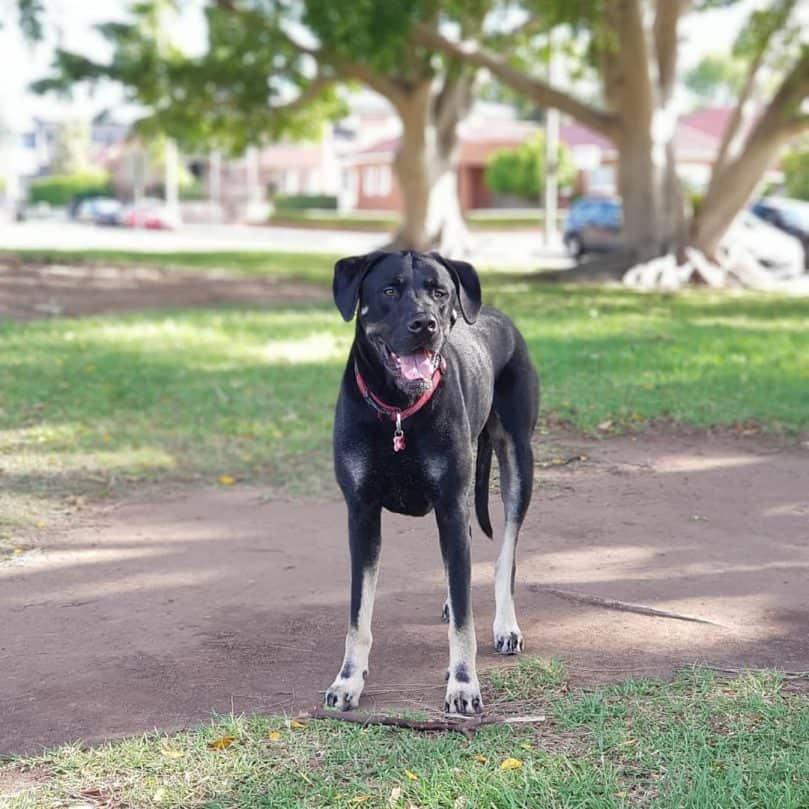 Labradane in the park
