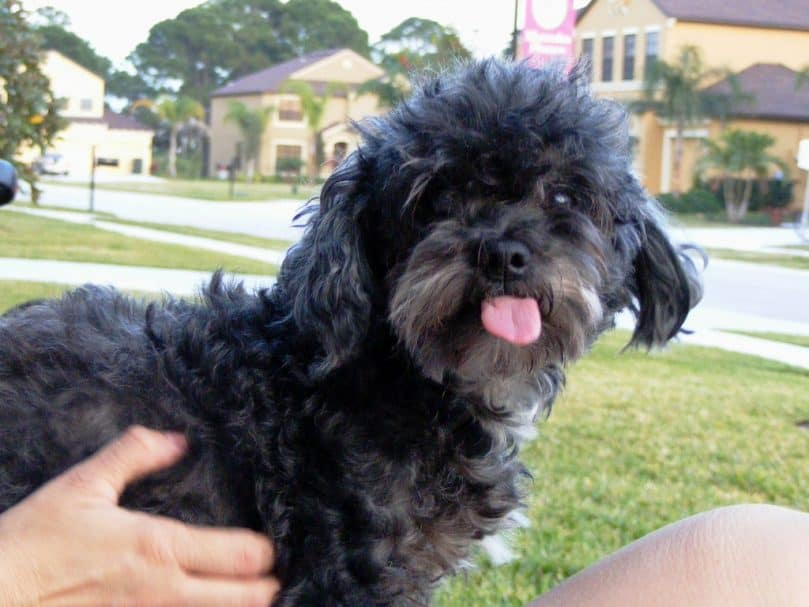 Black Lhasa Poo sticking its tongue out