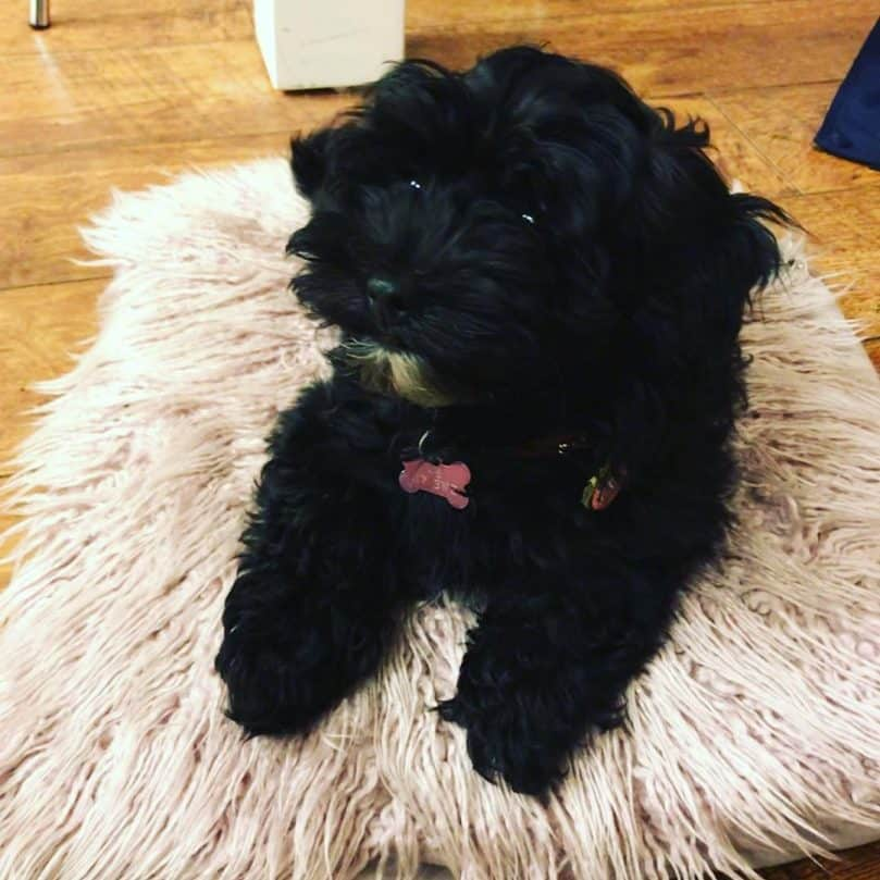 Lhasa Apso Poodle Mix laying on a rug