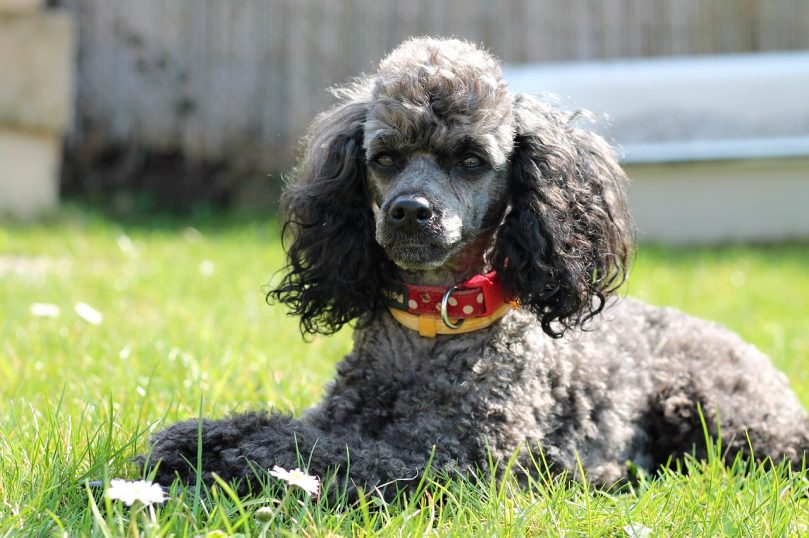 Miniature Poodle laying outside