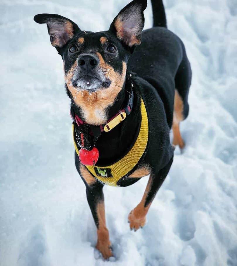 Medium Dog Breeds List Animalso