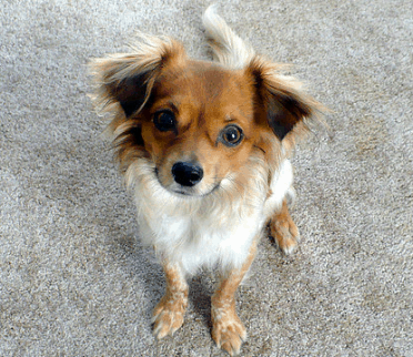 Papillon Chihuahua Mix also known as Chion