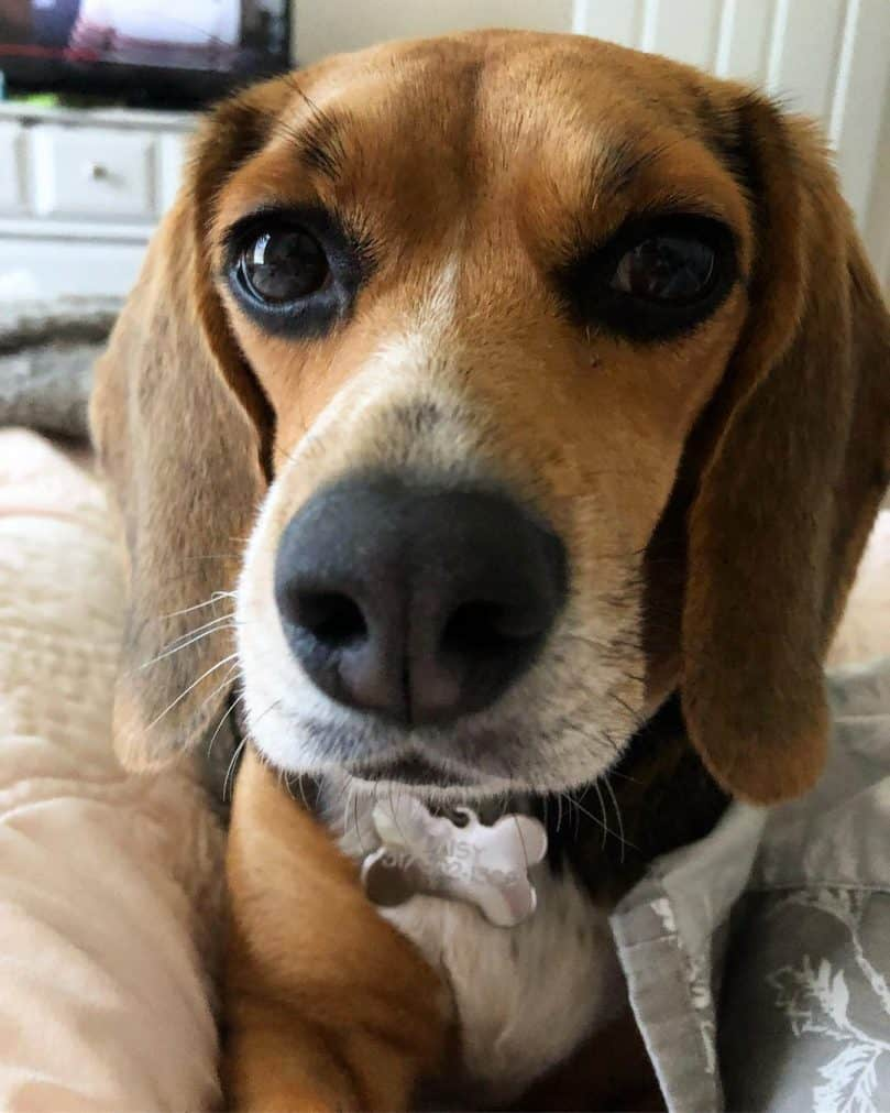 Miniature Beagle up close