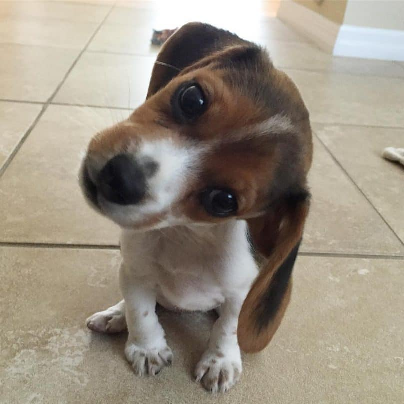 Pocket Beagle puppy