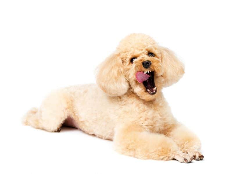 Toy Poodle yawning