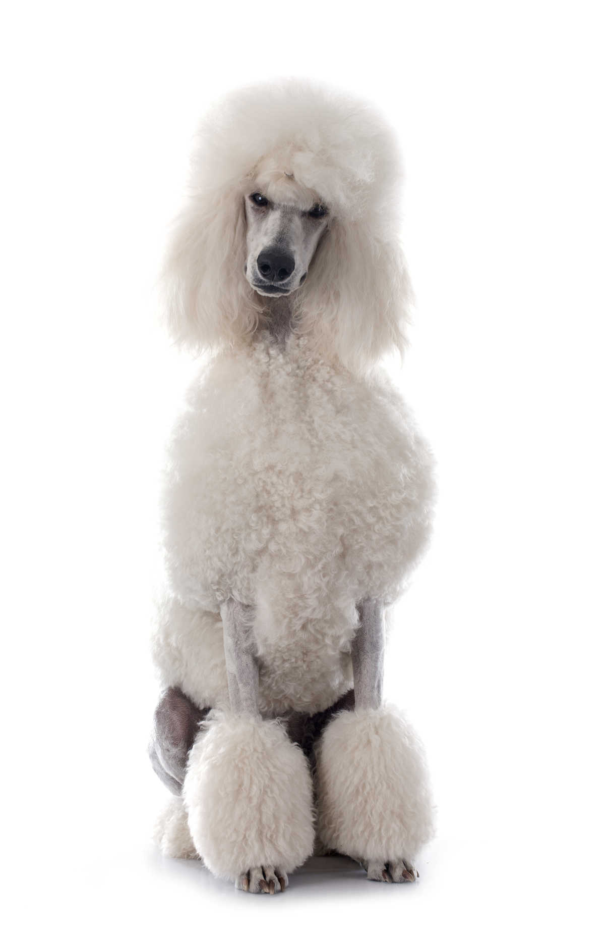 The Poodle A One Stop Guide To This Friendly Versatile