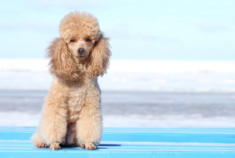 Miniature Poodle on the beach