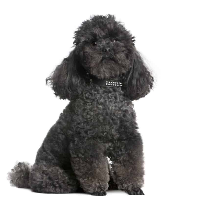 Portrait of a black Toy Poodle