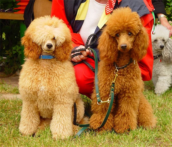 Two Klein Poodles standing side by side