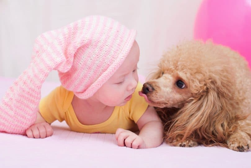 Poodle with a baby