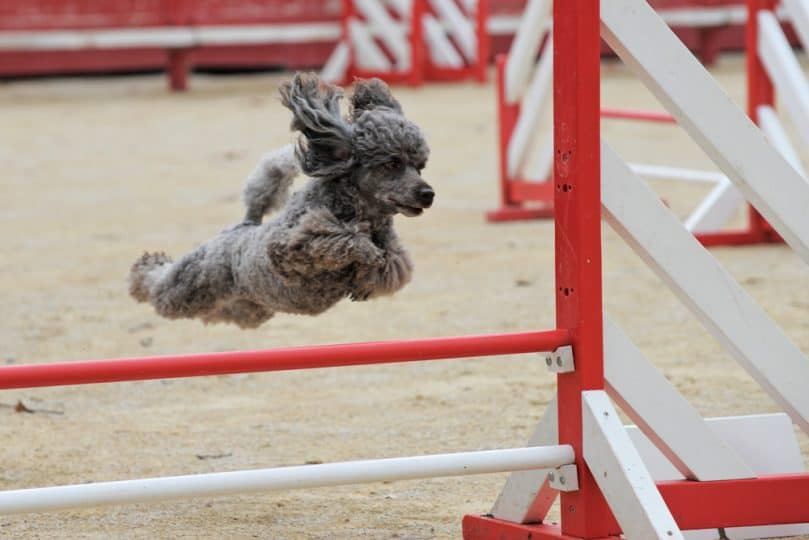 Poodle in the agility course