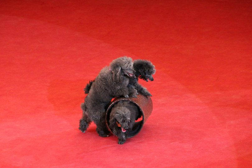 Poodles at the circus